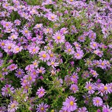 ASTER WOOD'S PINK