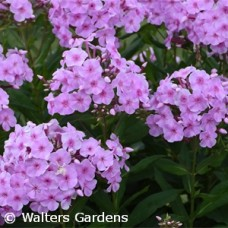 PHLOX PAN UPTOWN GIRL