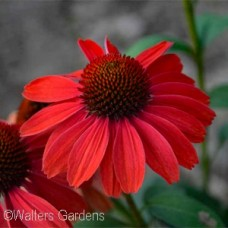 ECHINACEA FRANKLY SCARLET
