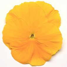 PANSY YELLOW