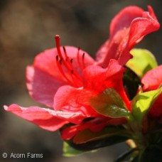 AZALEA GIRARD HOT SHOT