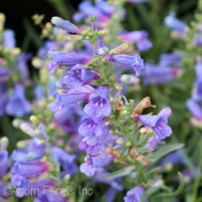 PENSTEMON ELECTRIC BLUE
