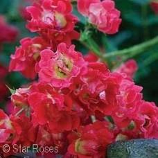 ROSA DRIFT RED GC