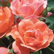 ROSA KNOCK OUT CORAL SHR