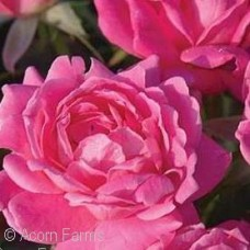 ROSA KNOCK OUT DOUBLE PINK SHR