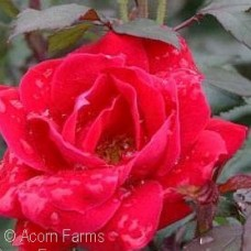 ROSA KNOCK OUT DOUBLE RED SHR