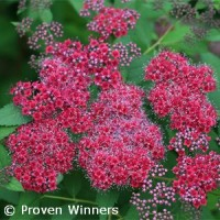 SPIRAEA JAP DOUBLE PLAY RED