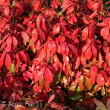 EUONYMUS ALA LITTLE MOSES
