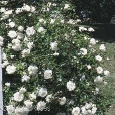ROSA WHITE DAWN CL
