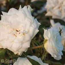 ROSA DRIFT WHITE GC